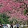 Когда сакура в цвету, всем японкам хочется