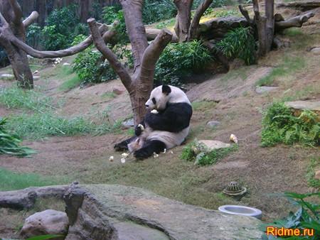 Гигантская панда.Китай
